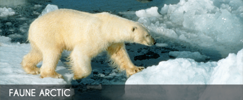 Vignette-faune-arctic
